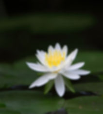 Lotus Image by dae jeung kim from Pixaba