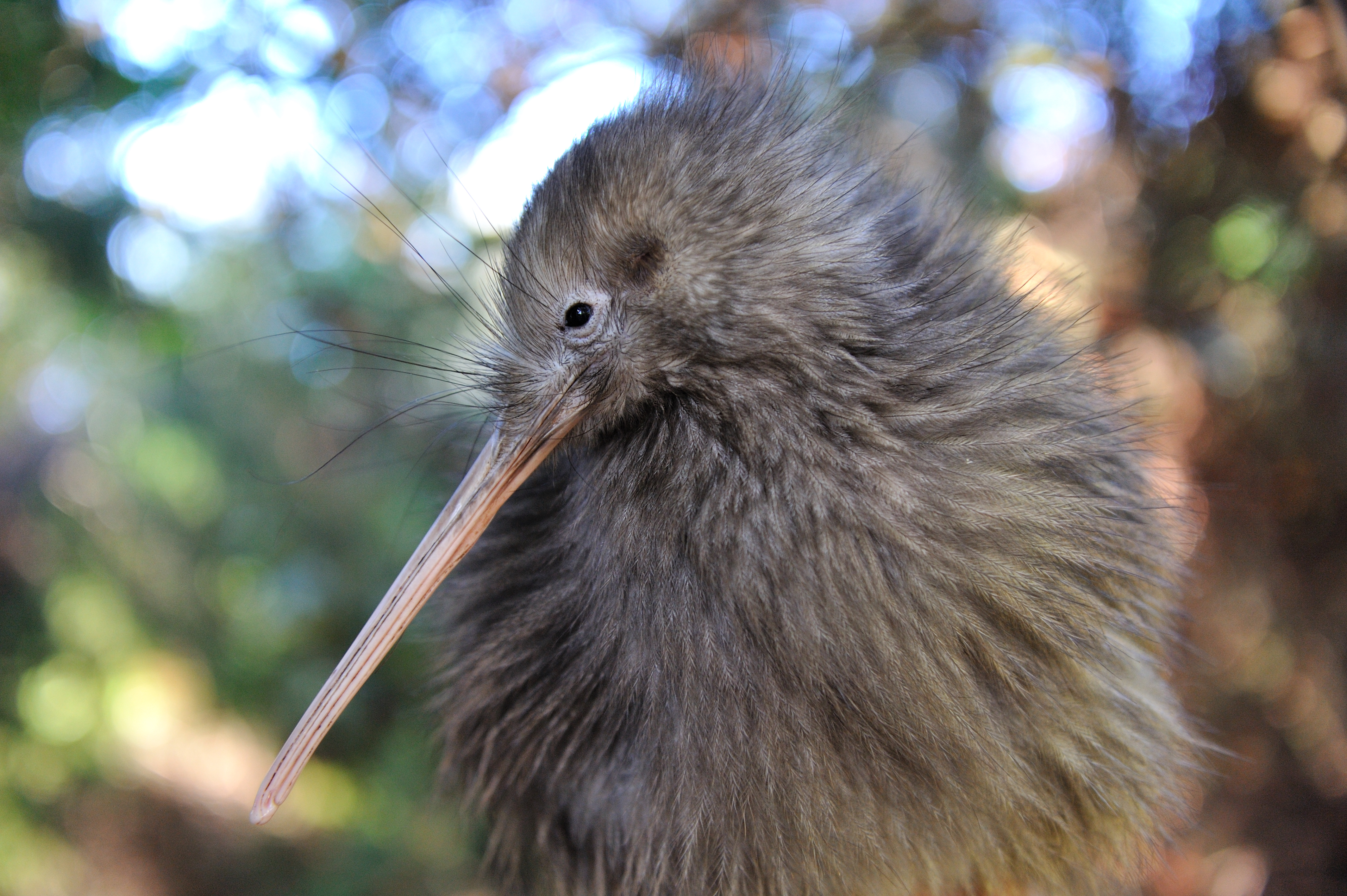 Te Puia Kiwi and Nature (2)