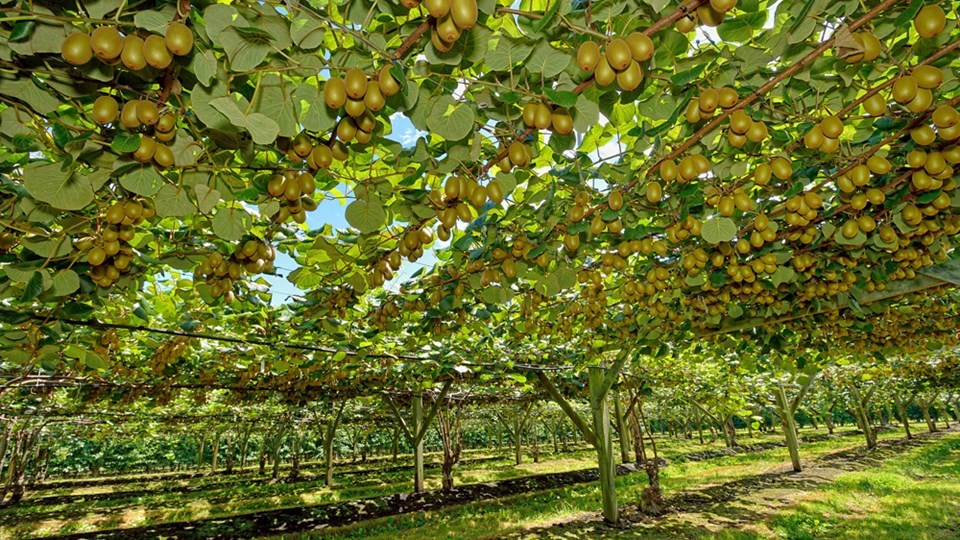 Kiwi Fruit Orchard