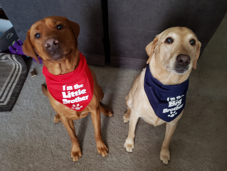 Brotherly love, Arlo and Miles,#pointinglabs#redlabs#bestfamilydogs