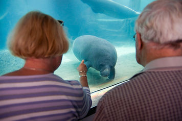 people looking at a manatee