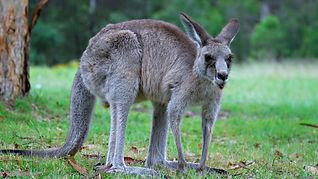 Kangaroo_edited.jpg