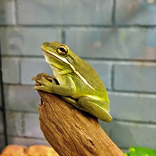 tree frog.png