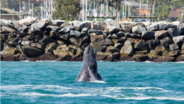 Dana Point Harbor Welcomes 48TH ANNUAL FESTIVAL OF WHALES