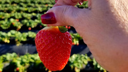 Let's go strawberry picking at Tanaka Farms Irvine