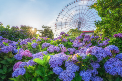 観覧車と紫陽花
