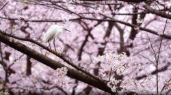 Hanami~Cherry blossom viewing~