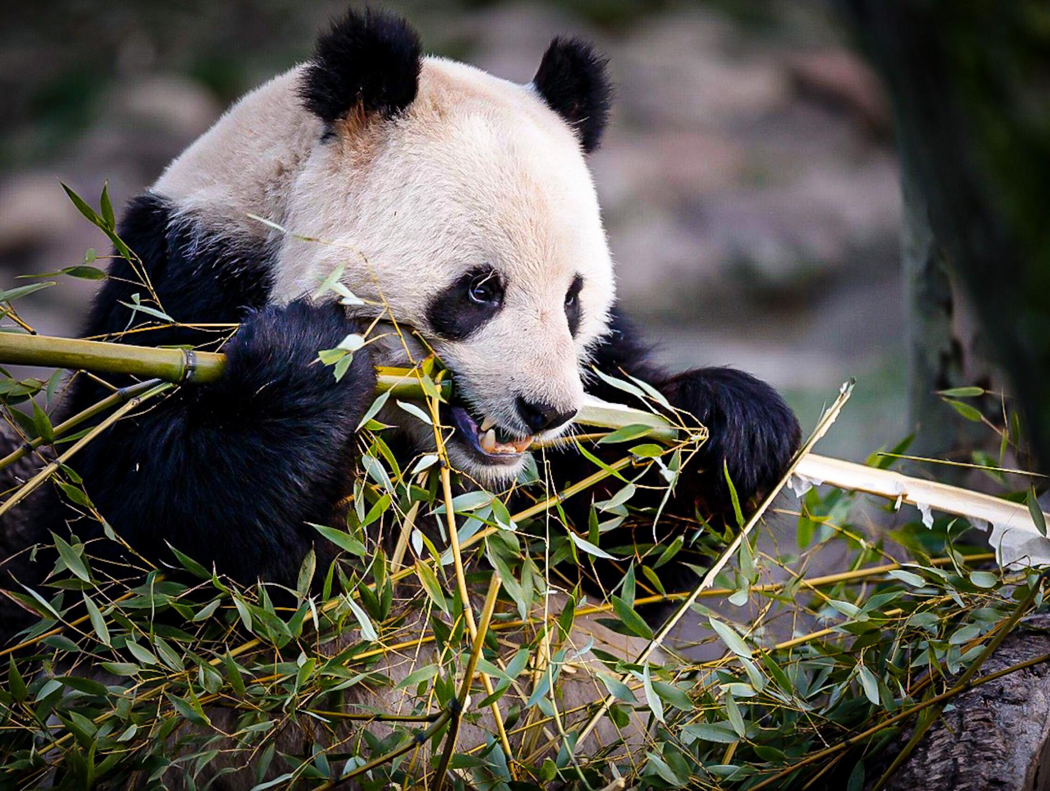 KaufiVang Panda Zoo