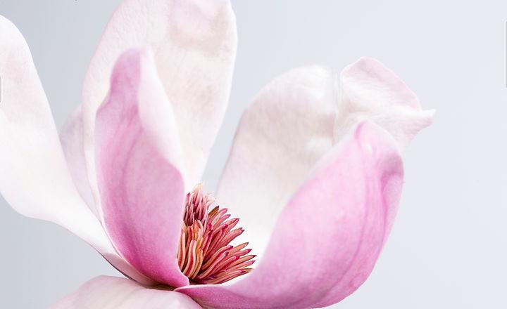 Magnolie Duft Parfum selber machen.jpg