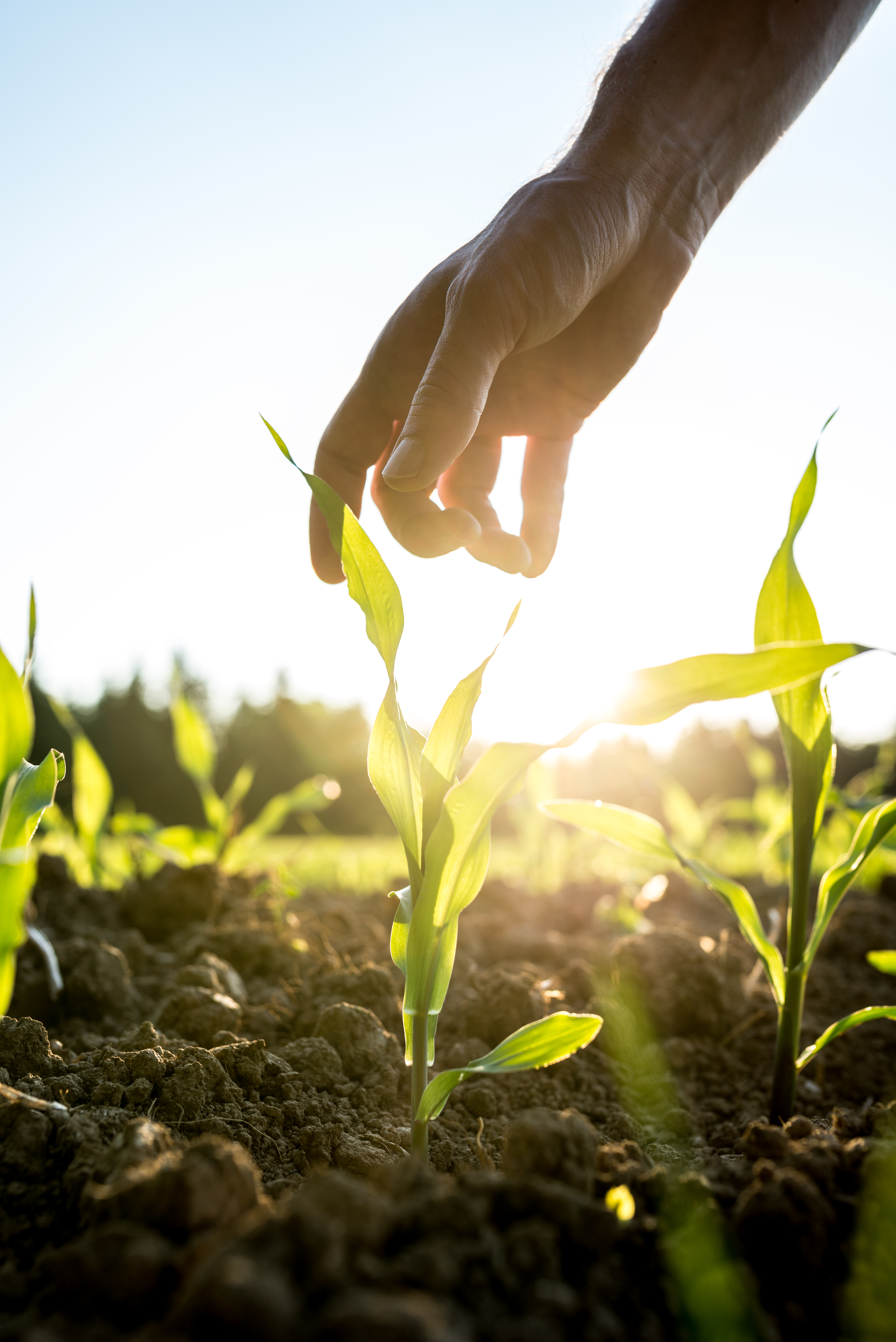 Male hand reaching down to a young maize plant growing in an agricultural field backlit by a bright