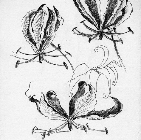 Pen drawing Gloriosa