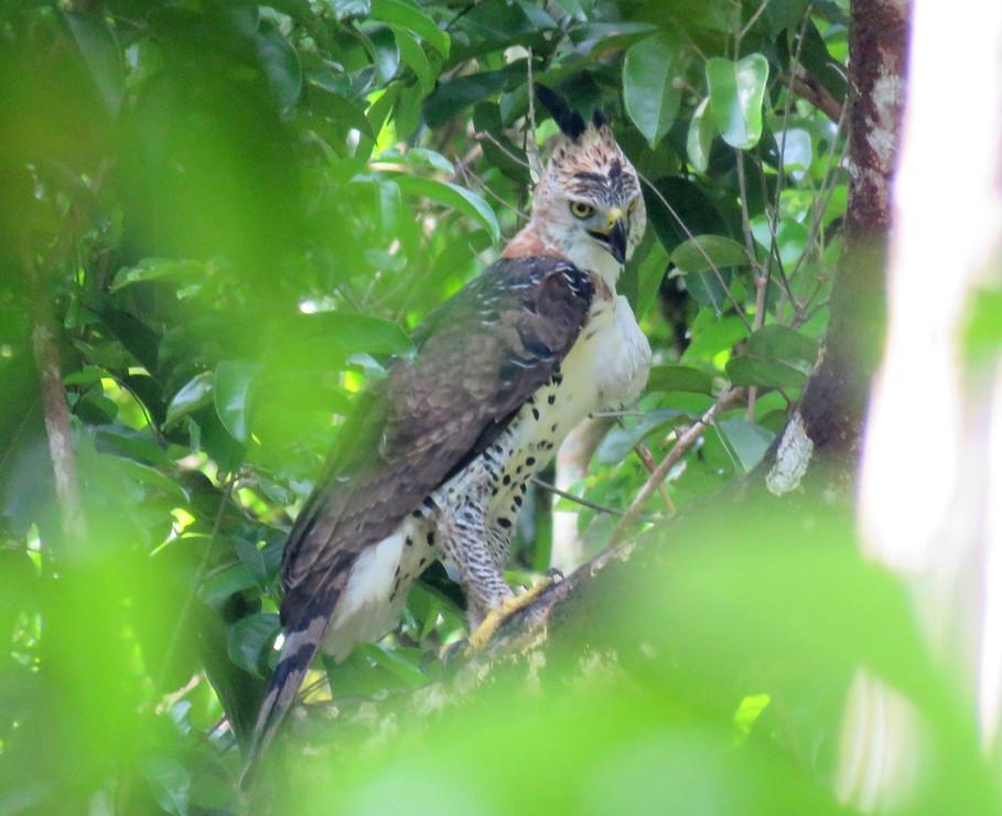 gavião-de-penacho