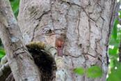 arapaçu-de-bico-curvo-de-rondônia