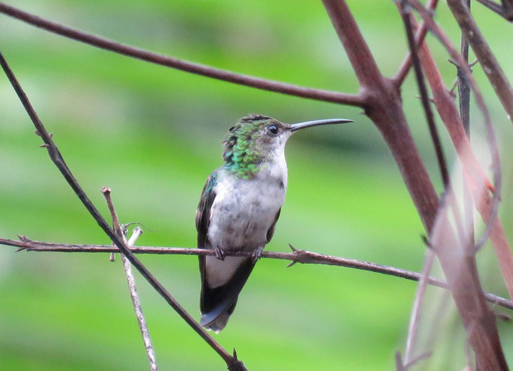 beija-flor-tesoura-verde (fêmea)