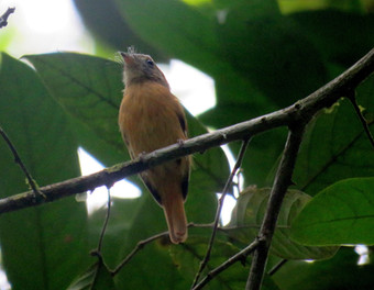 papa-moscas-uirapuru