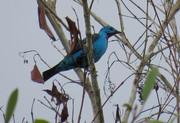 anambé-azul