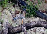 pavãozinho-do-pará