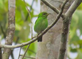saí-verde (fêmea)