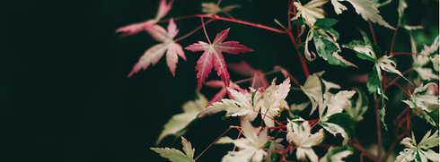 maple leaves.png