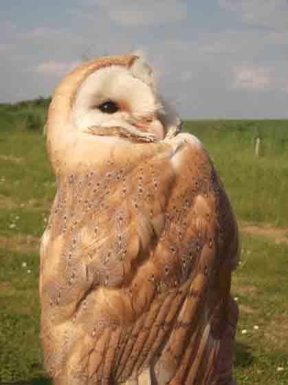 Whose a pretty owl