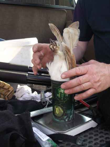 How to weigh a barn owl