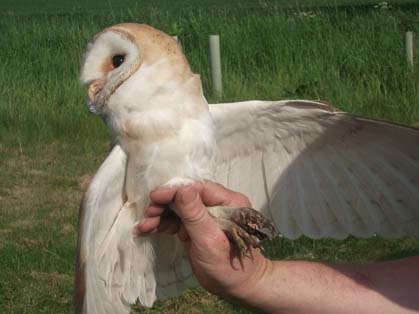 The male barn owl