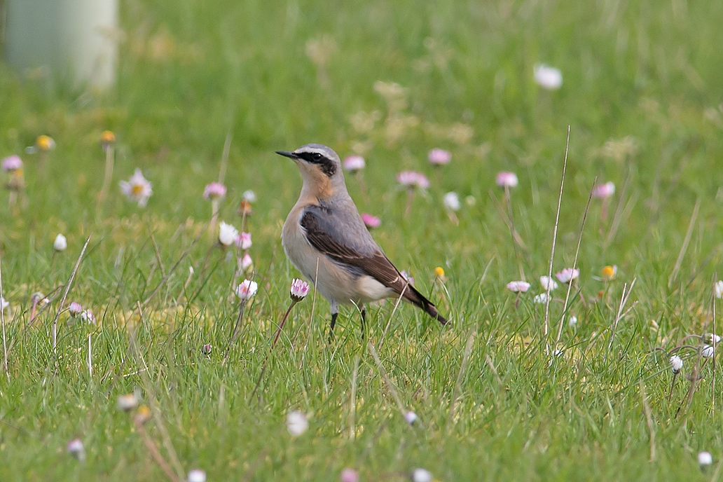 Wheatear male