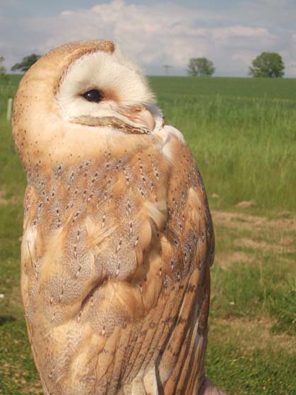 1 year old female barn owl