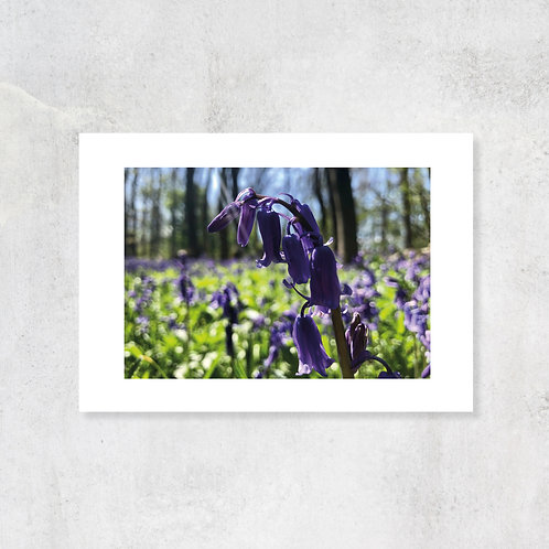 Bluebell Wood in the spring A4 Art Print with Card Mount