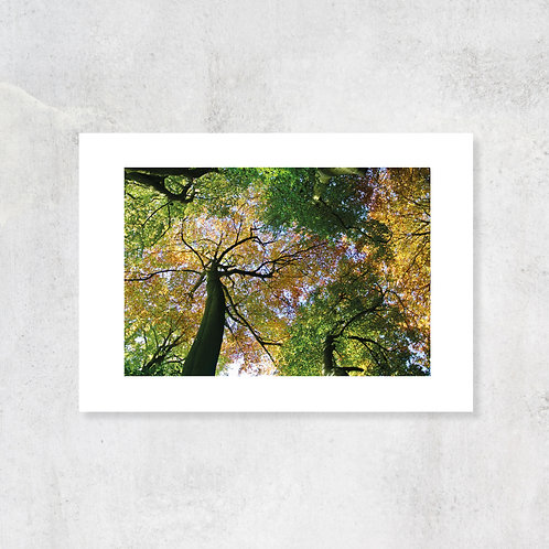 Chiltern autumnal Beechwoods A4 Art Print with Card Mount