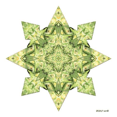 Star Canna 4