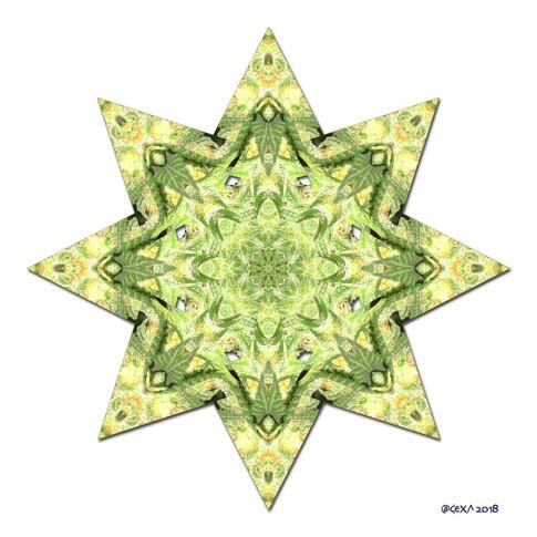 Star Canna