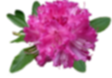 rhododendron-2832097_1280.png