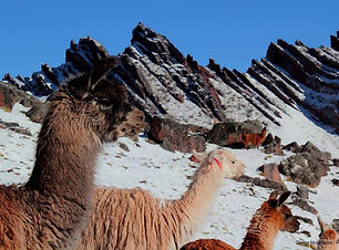 Lamas_Pérou.jpg