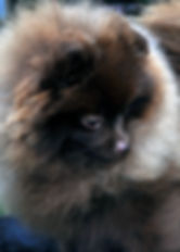 Bonsai Pomeranians puppy pictures