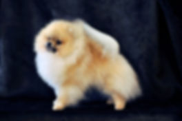 Pomeranian light orange male