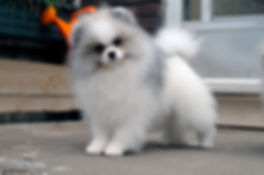 Pomeranian female sable parit