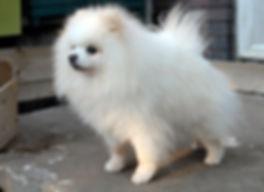 Pomeranian male white