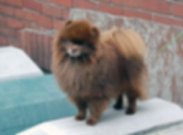 Pomeranian Male chocolate