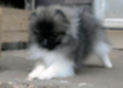 Pomeranian male wolf parti
