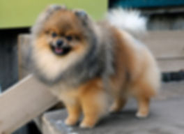 Pomeranian male red sable