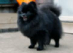 Pomeranian male black