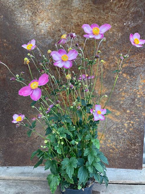 Høst-Anemone