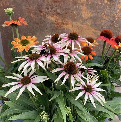 Solhatt -Echinacea