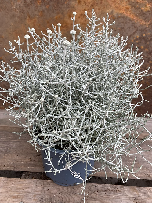 Calocepalus