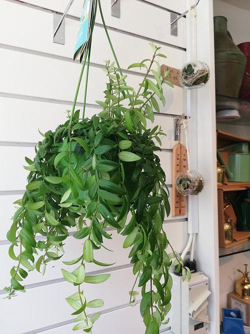 Aeschynanthus hanging plant