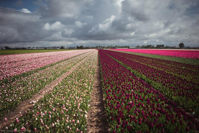 DSC01452_Keukenhof_Flowers_Tulip_Field_c