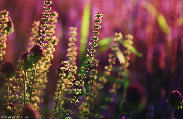 HKP_7258_Stock_Flowers_Muzeon_Bistort_Mo
