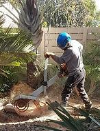 עץ הזית - כרסום שורשים.jpg