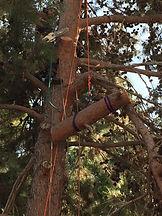 עץ הזית - כריתת עצים